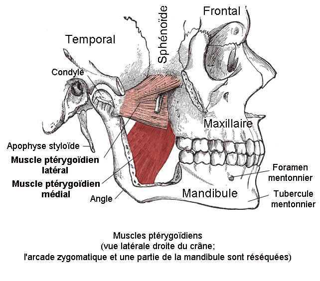 Muscle_ptérygoïdien_médial