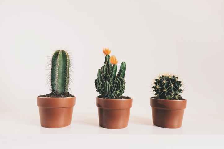 cactus couvert d epines epines epineux